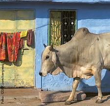Weitblick-Bild 2/14: Indische Kuh